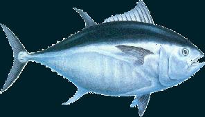Atún Bluefin